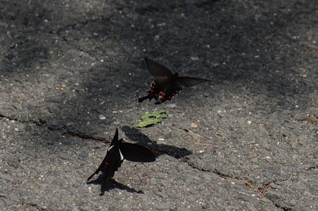 アゲハチョウ科 オナガアゲハ♂♀
