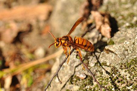 スズメバチ科 キイロスズメバチ