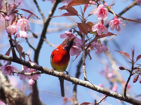 ルリオタイヨウチョウ(Goulds Sunbird) P1110613_R2