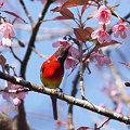 写真: ルリオタイヨウチョウ(Gould's Sunbird) P1110613_R2