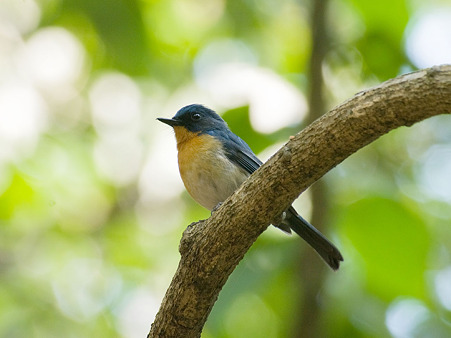 ミヤマヒメアオヒタキ(Hill Blue Flycatcher) IMGP107699_R