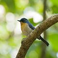 Photos: ミヤマヒメアオヒタキ(Hill Blue Flycatcher) IMGP107699_R