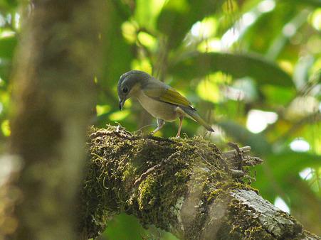 アカバネモズチメドリ(White-browed Shrike-babbler) P1060674_R2