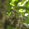 Photos: アカバネモズチメドリ(White-browed Shrike-babbler) P1060674_R2
