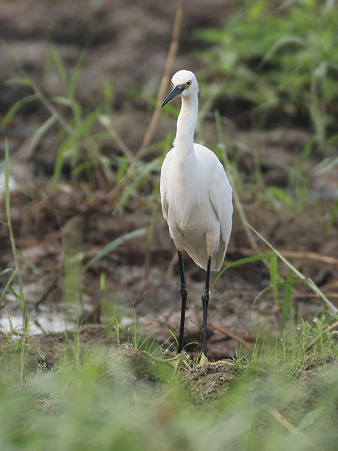 コサギ(Little Egret) O1001026_R