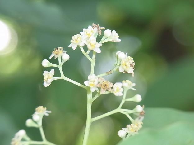 クスノキの花 2012-1