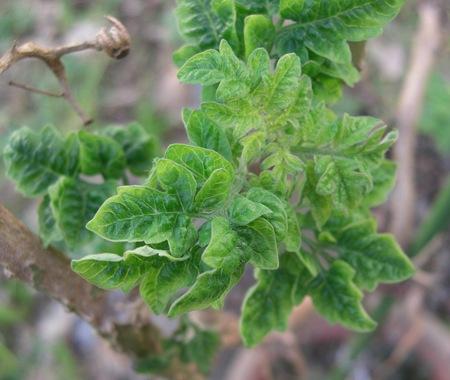 ミニトマトの新緑 091129