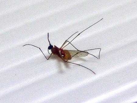 mosquito-IMGP0491