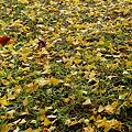 Photos: 黄色い絨毯