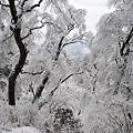写真: 枝垂桜のような木々