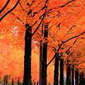 写真: メタセコイアの並木道(1)