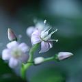 写真: 金のなる木 開花!