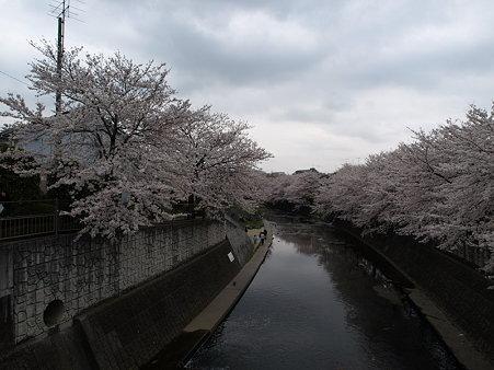 桜(恩田川)(51)