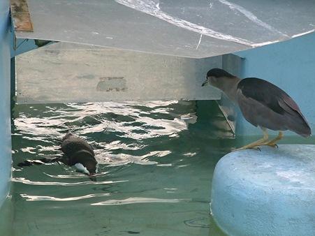 上野2009秋 おサカナ食べたいゴイさん2