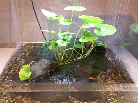 20100220 葛西 サンショウウオとワサビの水槽