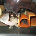 Photos: 20140702 45cmプレコ水槽のプレコ達