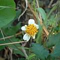 Photos: コシロノセンダングサ(Bidens pilosa L. var. minor (Blume) Sherff)