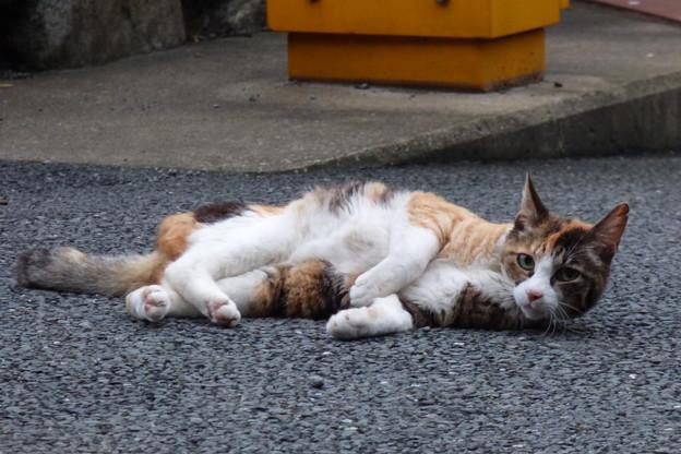 三毛猫??