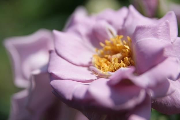 IMG_5983ばら園・薔薇(たそがれ)