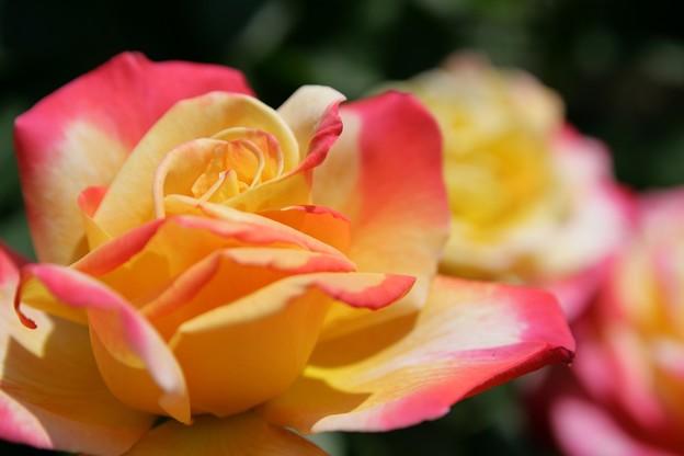 IMG_6091ばら園・薔薇(栄光)