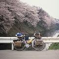写真: 霞城公園の桜