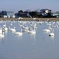 印西市(旧本埜村)白鳥飛来地