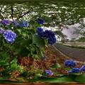 長尾川左岸の紫陽花 360度パノラマ写真 HDR