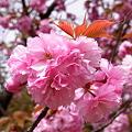 ▲八重桜 2