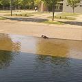 写真: からすが行水する暑さ。