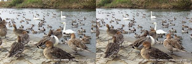 鴨と白鳥(3D)