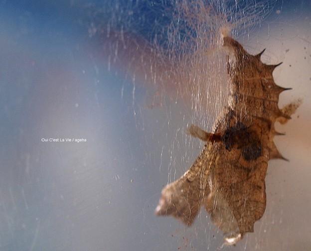 穴あき蛹羽化抜け殻(ツマグロヒョウモン飼育)