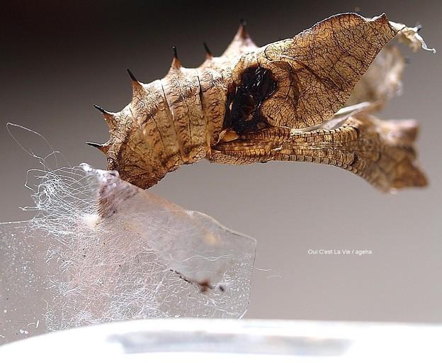 穴あき蛹羽化抜け殻。傷側面。まるでカサブタ(ツマグロヒョウモン飼育)