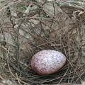 ヒヨドリの卵と思われます