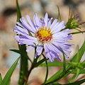 Parennial Salt-Marsh Aster(?) 8-15-09