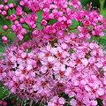 Japanese Spiraea 7-25-09