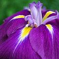 Japanese Iris 7-17-09