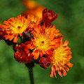 Photos: Orange Hawkweed 6-16-09