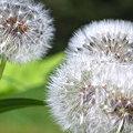 Dandelions 6-4-09