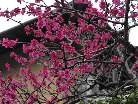 北鎌倉駅を降りたら梅の香り