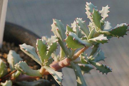 オスクラリア 琴爪菊