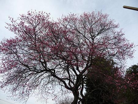 100120-6.西福寺の梅