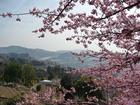 100223-松田山 河津桜 (55)
