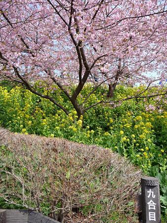 100223-松田山 河津桜 (67)