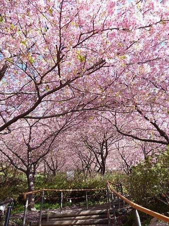 110305-松田山 河津桜 (16)