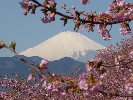 110305-松田山 河津桜 (46)