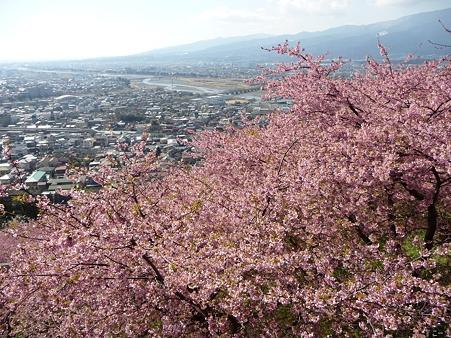 110305-松田山 河津桜 (106)