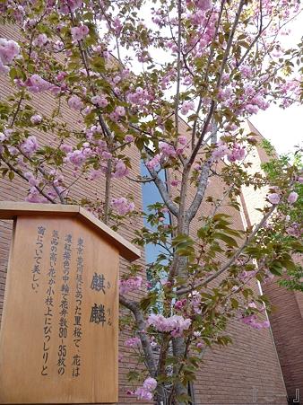 110417-造幣局 桜の通り抜け (73)