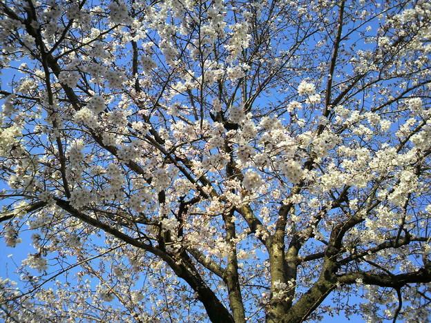 写真: 桜と青空