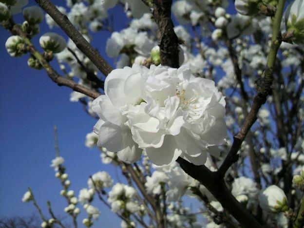 写真: 桜3