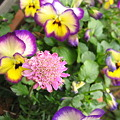 スカビオサ&よく咲くスミレ ブルベリーパイ